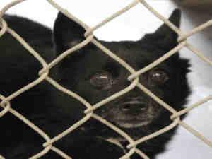 A3233524: Schipperke mix, Dog; Mesa, AZ