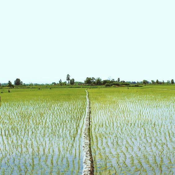 #landscape #farm#tree#rice #nature #spring #green#vsco#vscocam #Iranian_photography#iranaks#insta_Persia #just_ax #irantravel#traveling  #شالیزار#بهار#اردیبهشت #بپسند