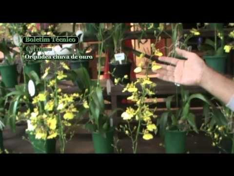 Orquídea Chuva de ouro - clima - YouTube