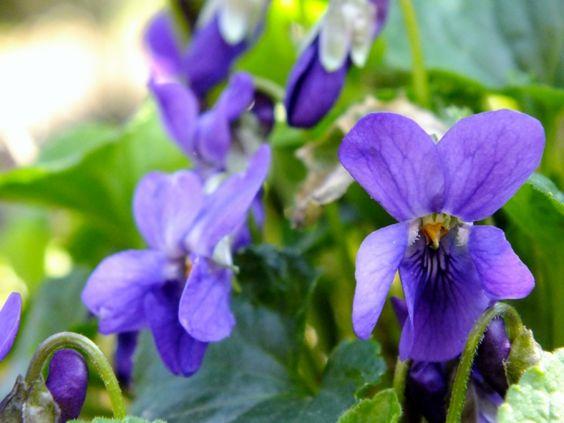 bloeiende viooltjes: decorelementen