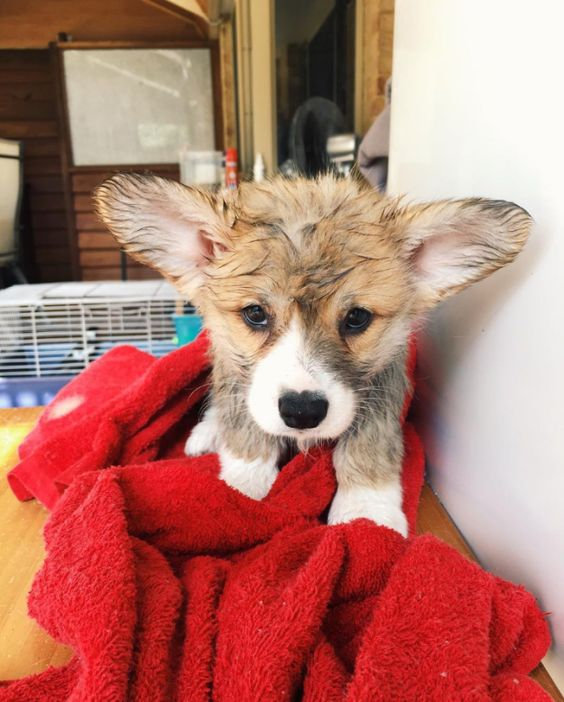This innocent fluff who just discovered his first mud puddle. | 19 Muddy Puppies Who Are Impossible To Get Mad At