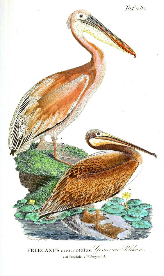 Animal - Bird - Pelican, brown various