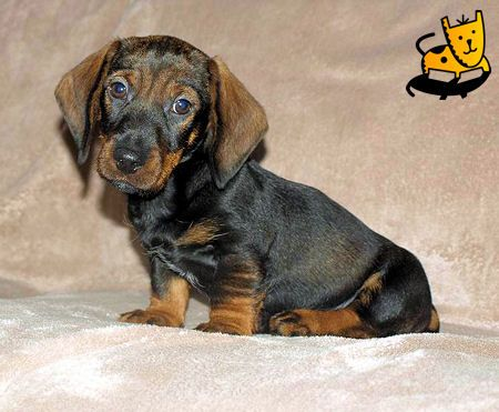 Cute puppy Daschound just like I used to have. ahh.....
