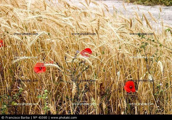 Amapolas entre el trigo
