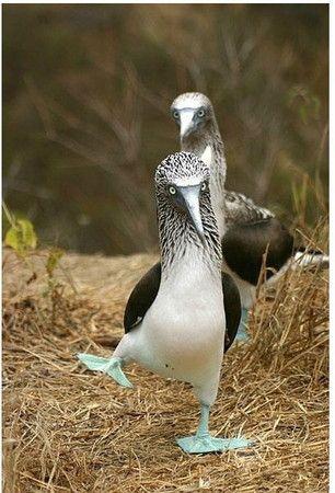 牠們叫作藍腳鰹鳥,學名Sula nebouxii,是一群生活在太平洋東岸的遷徙性鳥類,只在繁殖和養育雛鳥期間才會聚集在岩岸上。  原文網址: 太平洋魔性之鳥,但長這樣會被欺負吧 | 鍵盤大檸檬 http://www.ettoday.net/dalemon/post/7630#ixzz3SgJHiPye