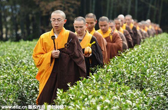cueillette des thés de la pure clarté par une communauté de moines au Zhejiang