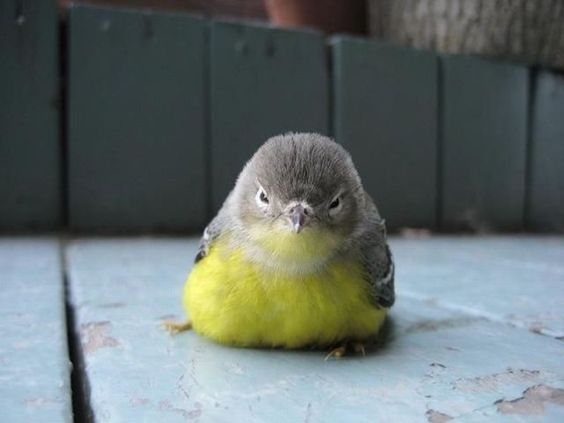 The REAL Angry Bird?