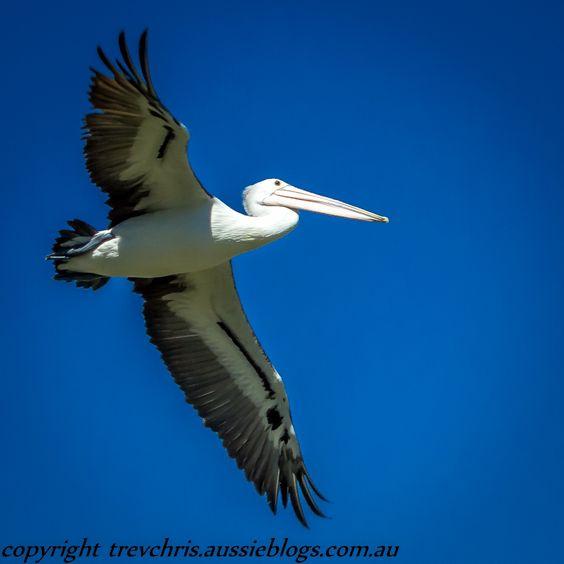 An Australian Pelican in perfect flight trevchris.aussieblogs.com.au