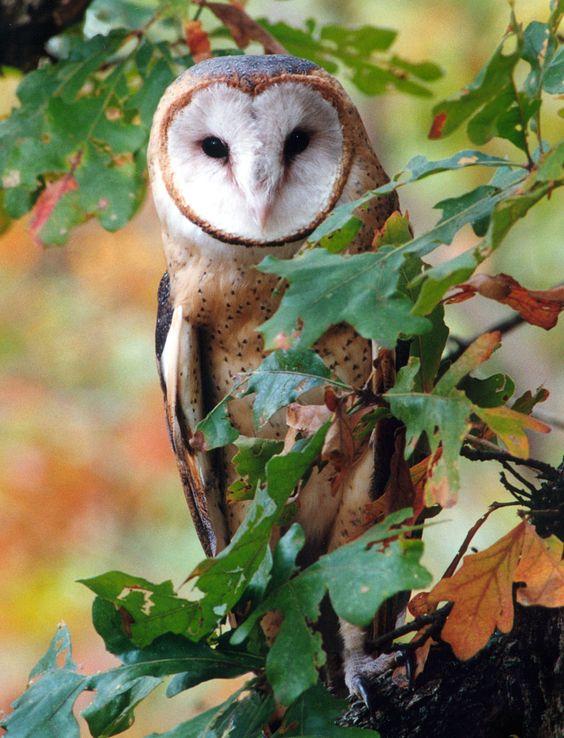 Barn Owl - via jnevitt on DeviantArt