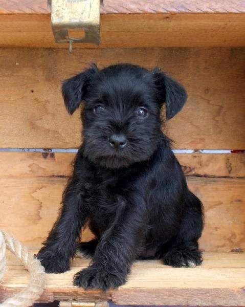 Black miniature schnauzer female names
