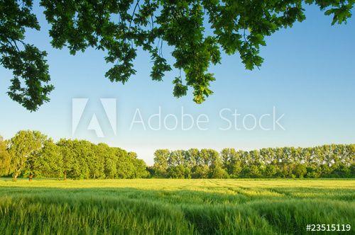 Sommerlandschaft, Getreidefeld