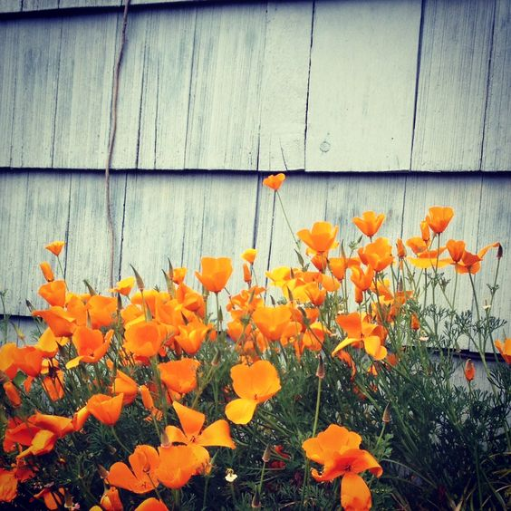 orange poppies. Easy to grow and so wild and pretty looking... from To Plant a Garden on Gallant & Jones Blog