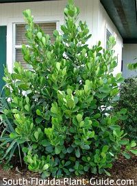large clusia guttifera by house