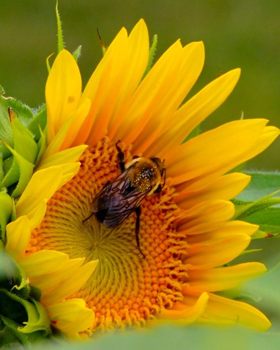 #Sunflower #Bee #BumbleBee #Tennessee #Flower #Yellow