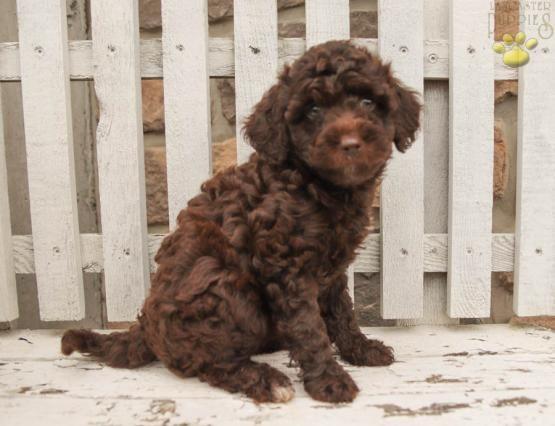 Maya Cavapoo Puppy For Sale In Millersburg Pa Lancaster