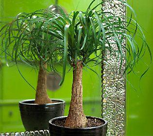 Robertas 2-pc. Elephant Foot Bonsai Palm Trees