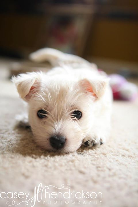 tiny westie puppy bahhh this is my baby!! www.caseyhphotos ...