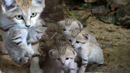 Rotem sand cat with four sand cat kittens