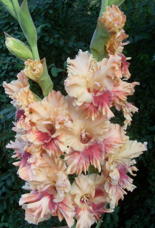 598 Papuas Baranov 1995 Em Gladiolus Flower Amazing Flowers Different Kinds Of Flowers