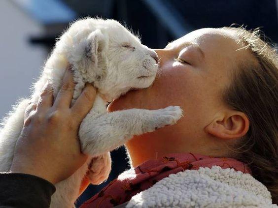 Rare white lion born in Serbian zoo