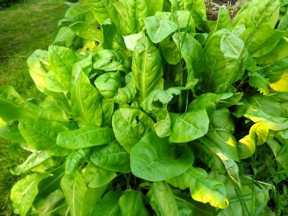 L 39 oseille l gume perp tuel tr s facile cultiver elle s - Cuisiner blettes feuilles ...