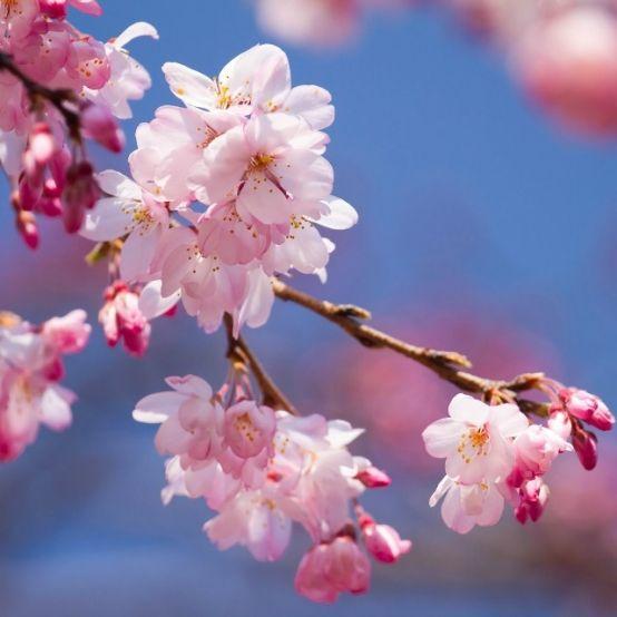 Cherry Plum Blossom Flower Essence Flower Essences Blossom Flower Cherry Blossom Art