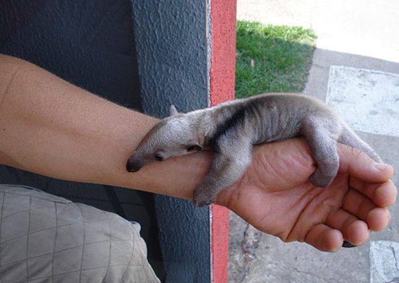 A very little anteater.