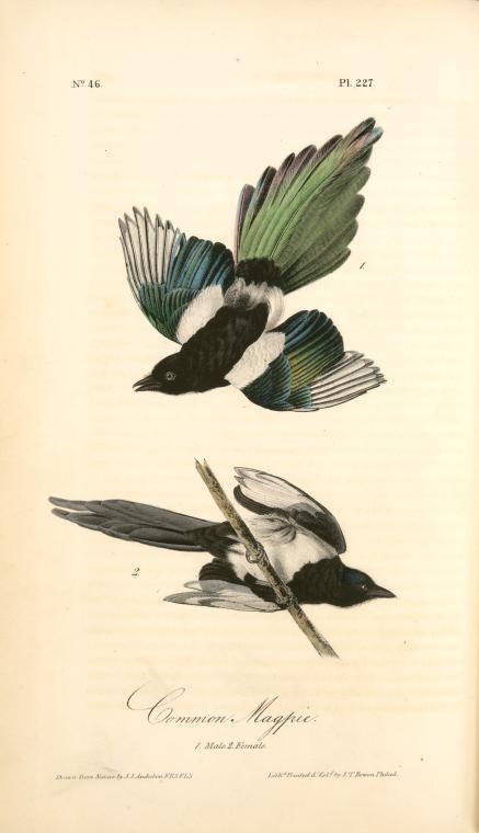 Magpies: