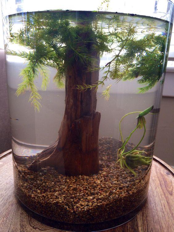 My diy betta terrarium tanks bought a nice 3 gallon vase for Betta fish floating