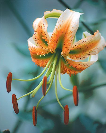 Trumpet lily 'Madame Butterfly'