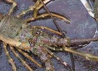 Larangan Ekspor Lobster