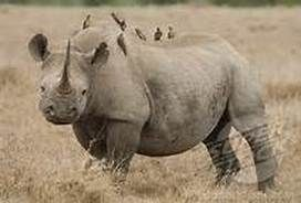 oxpeckers and rhinos relationship help