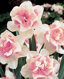 Frilly daffodils