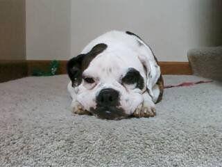 My Bulldog Lola Mae -- she is such a sweetie!!