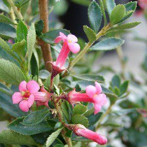 Escallonia rubra var macrantha nombre popular tipolog a for Arbustos de hoja perenne resistentes al frio