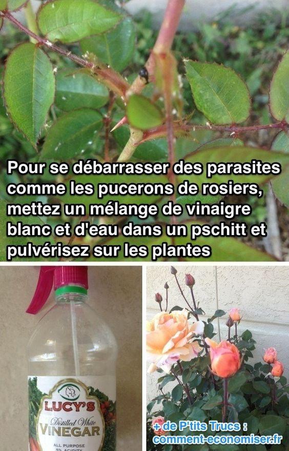 Utilisez de l'eau vinaigrée pour lutter contre les parasites des plantes. A tester,