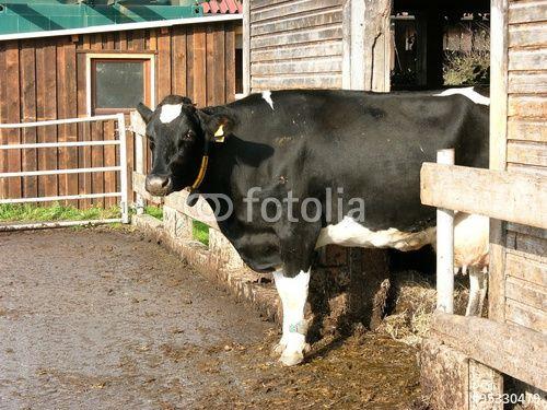 Holstein-Friesian Milchkuh auf einem Bauernhof in Eckardtsheim bei Bielefeld in der Sennelandschaft