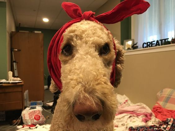 Oliver the apricot standard poodle looking adorable :) Check him out in our daily videos youtube.com/thefreylife