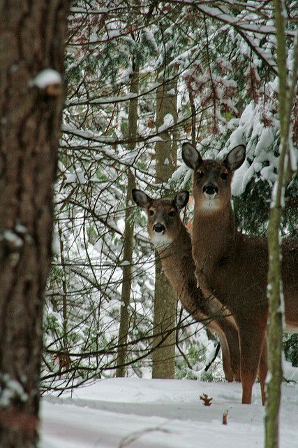 White Tail Deer, ready to come out of the woods and eat all my shrubs!