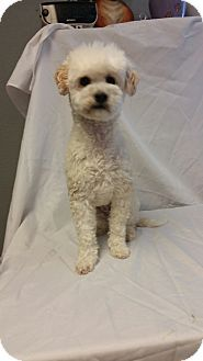 Yelm, WA - Bichon Frise/Poodle (Miniature) Mix. Meet Morgan, a dog for adoption. http://www.adoptapet.com/pet/12856229-yelm-washington-bichon-frise-mix