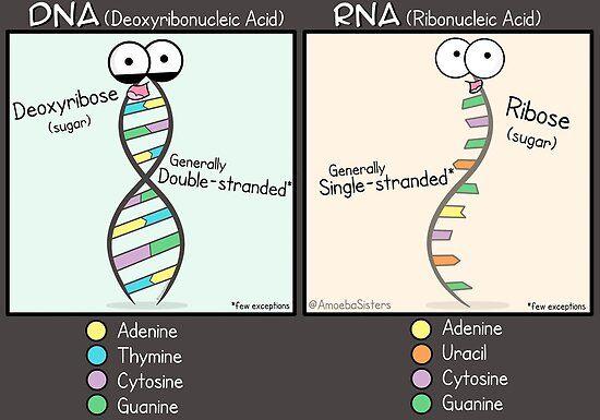 15+ Amoeba sisters protein synthesis worksheet Info