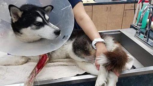 New York Ny Siberian Husky Meet Valiance A Pet For Adoption
