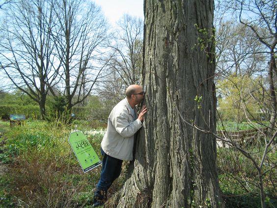 American Elm at Morton Arboretum