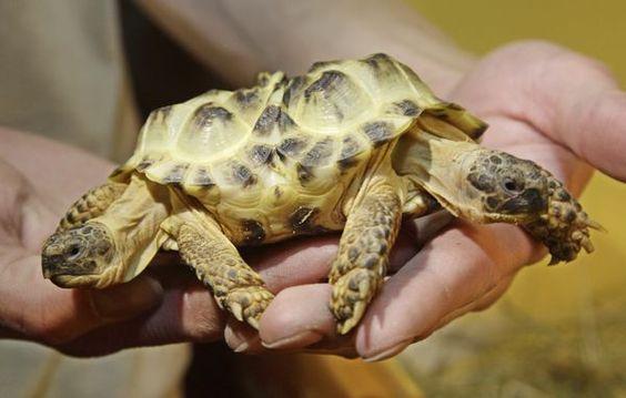 two-headed tortoise on display in Ukraine
