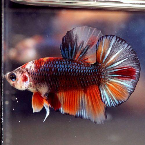 Pin By Marianne Sans On Beautiful Betta Fish Betta Fish Pet Fish Betta