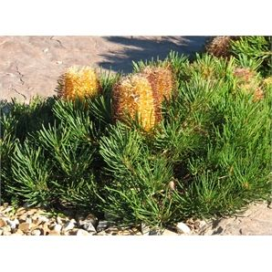140mm Banksia spinulosa Birthday Candles