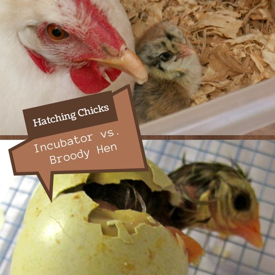 Hatching Chicks: Incubator vs. Broody Hen