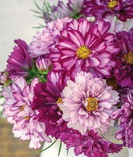 Cosmos Double Click Bicolor Violet Cosmos Flowers Flower Farm Bloom Where Youre Planted