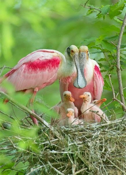 Roseate Spoonbill Family