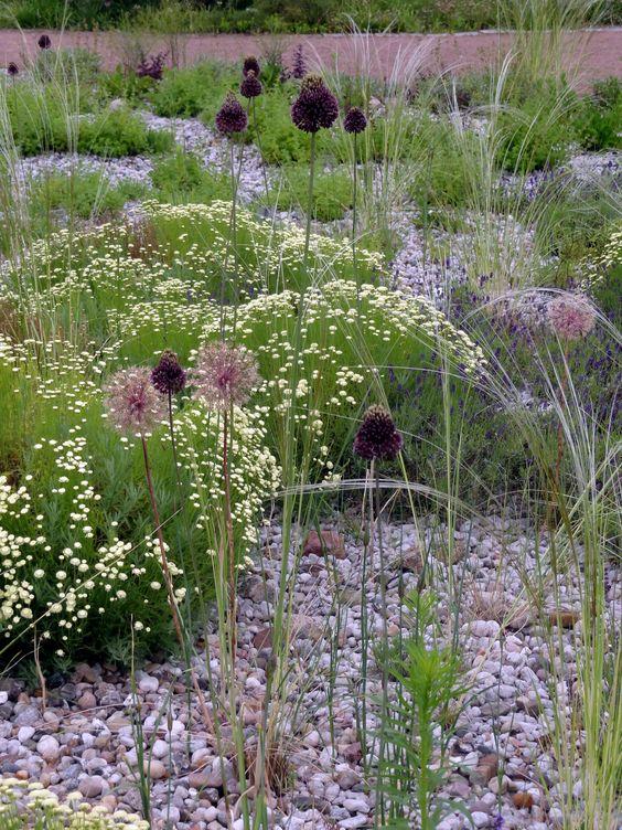 Allium 'Forelock' ist nicht ganz billig - aber jeden Cent wert.